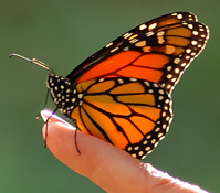 Monarch Butterfly (photo by Jim Gallion)