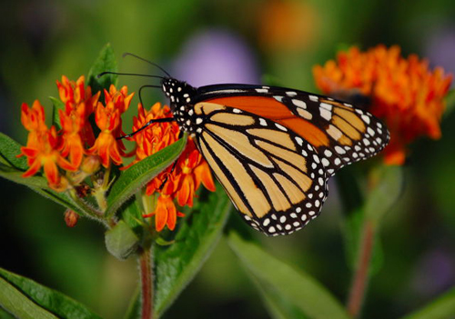 Monarch and butterfly weed (photo by Jim Gallion)