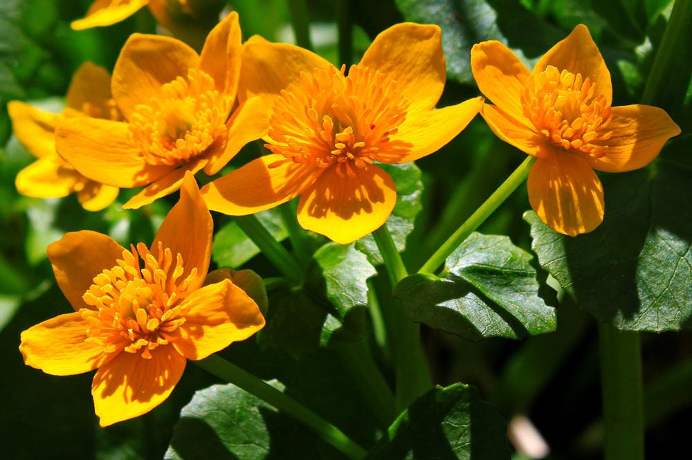 marshmarigolds