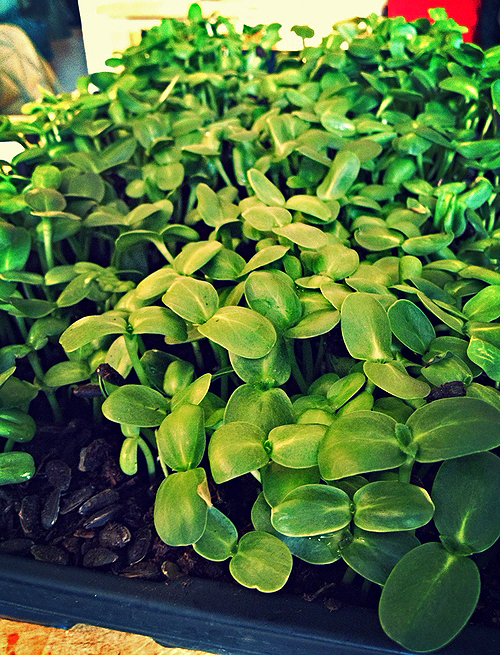 Sunflower shoots ready to eat