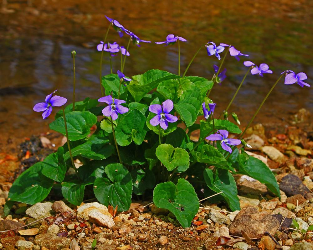 violetcreek