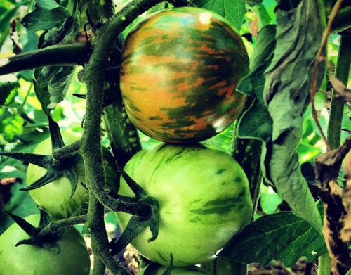 tomatoes500