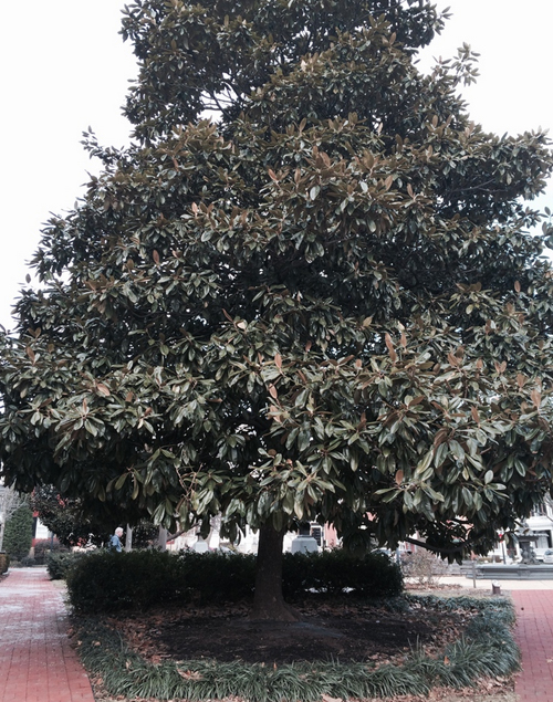 Southern magnolia, Magnolia grandiflora, in front of City Hall in Frederick, Md. (by Jenny Willoughby)