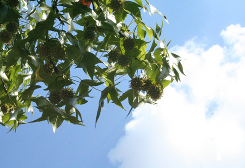 Sweetgum, Liquidambar styraciflua, drops spiky balls in the fall that become projectiles when the lawnmower runs over them. (by Jenny Willoughby)