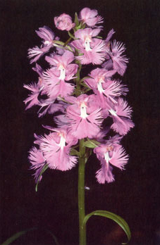 Large purple fringed orchid. Photo Richard Wiegand.