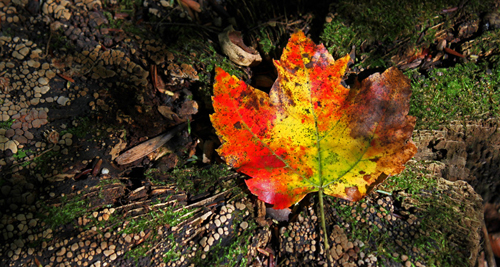 Red Maple leaf on rotting stump (by Kai Hagen)