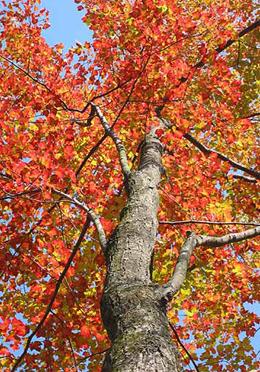 Red maple in autumn (by Kai Hagen)