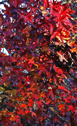 Sweetgum  offers some of the most brilliant autumn colors. (by Kai Hagen)