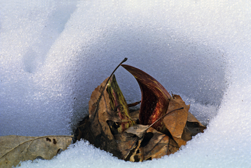 Skunk Cabbage flower cresting above melted snow. (Dembinsky Photo Associates)