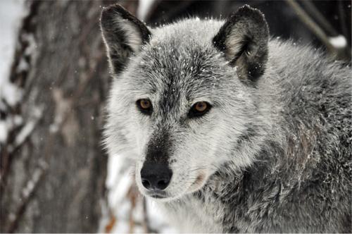 foxhavewolf copy500w