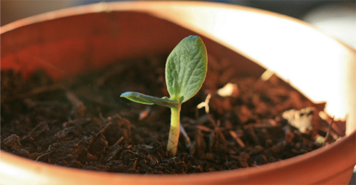 Mystery-Seedling-Cropped-500w
