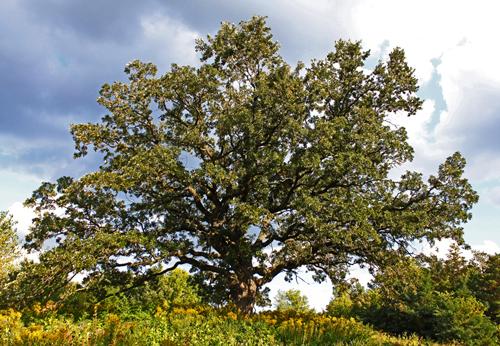 A mature, wide-spreading bur oak.