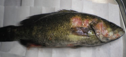 diseasedfish500w
