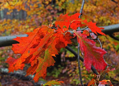Red oak leaves in autumn.