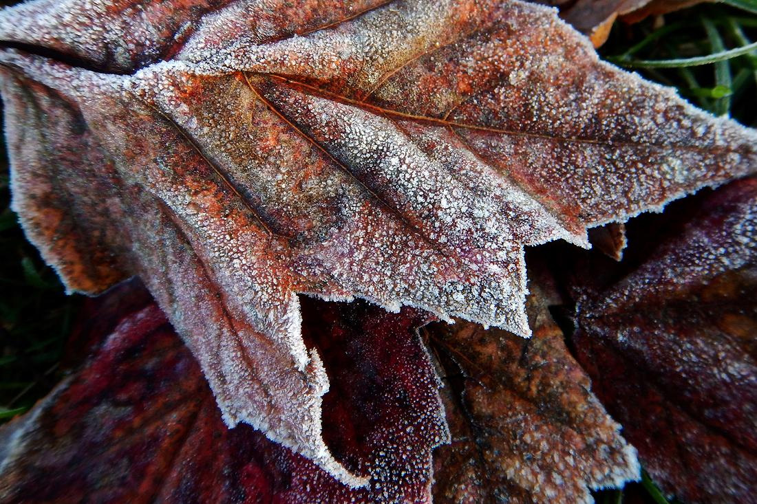 Frosty fallen leaves beside the sidewalk leading to the park. (November 9, 2015)