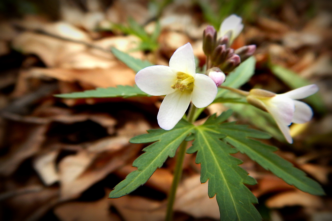 Also later in the day, this cut-leaved toothwort was in bloom in the woods near the creek. (April 11, 2016)