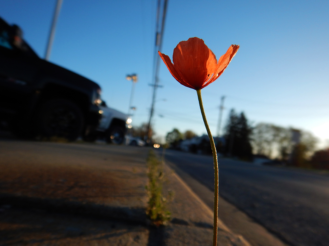This tiny, lonely poppy was growing out of a crack in the sidewalk.  It is likely a descendant of the ones that grew in the former Cozy Restaurant garden, now the site of a car dealership. (April 20, 2016)
