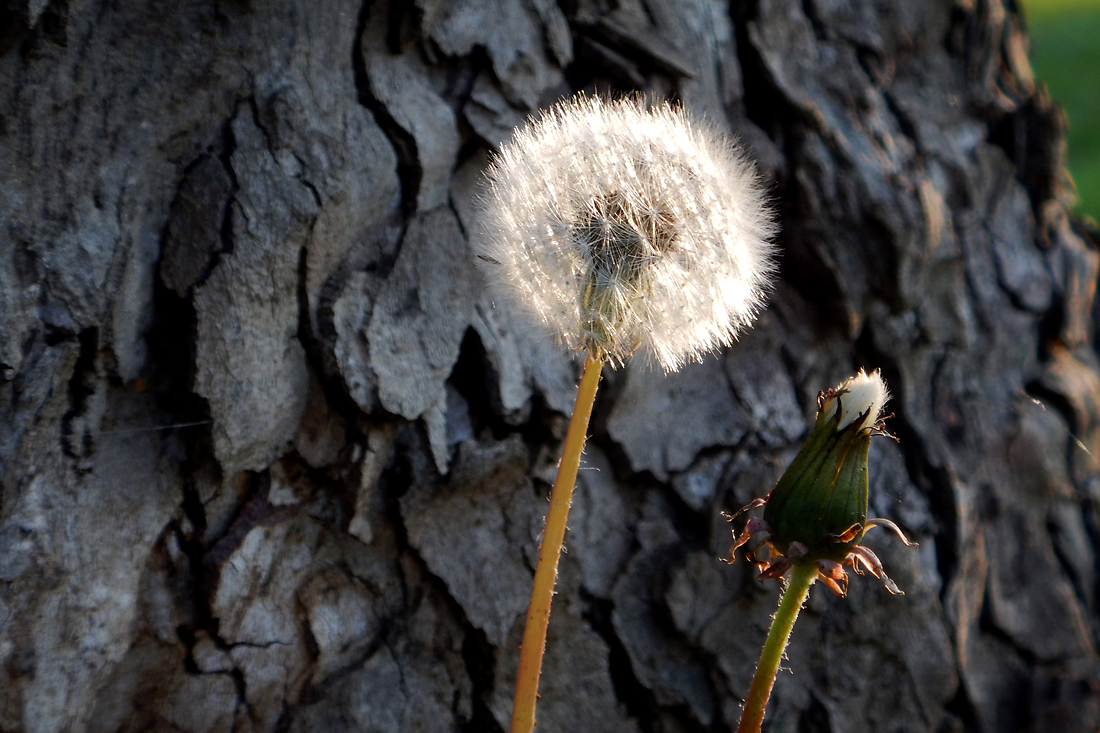 A dandelion seed head catches the early light in the community park. (April 25, 2016)