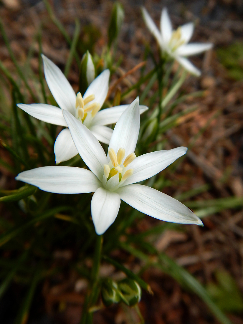 This Star of Bethlehem somehow avoided the mowers along the walking path in the park. (May 2, 2016)