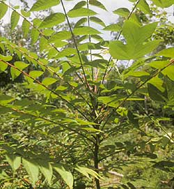 The long compound leaves of tree of heaven, Ailanthus altissima. The tree has an unpleasant odor when crushed. Some say the odor is a cross between peanut butter and cat urine. Photo by D. Barringer, Natural Land Trust