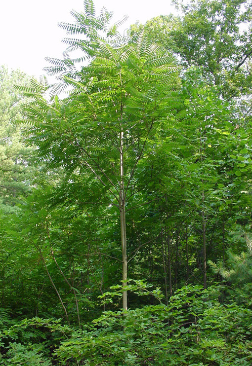 The growth habit of tree of heaven, Ailanthus altissima. The non-native and invasive tree can grow tall enough to be co-dominant or even dominant in some forests throughout the country. Photo from Perdue Extension.