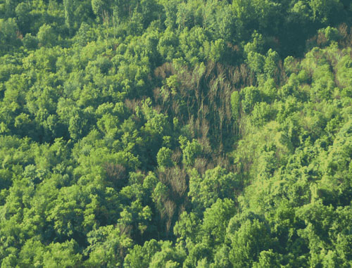 Aerial image of a dead tree of heaven, Ailanthus altissima, stand in the center of the forest. The dead stand is the result of infection with the wilt-causing fungus typical of the genus Verticillium. Photo from Penn State news.