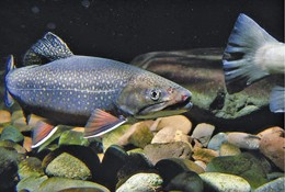Got brook trout? Then you've also got a healthy stream